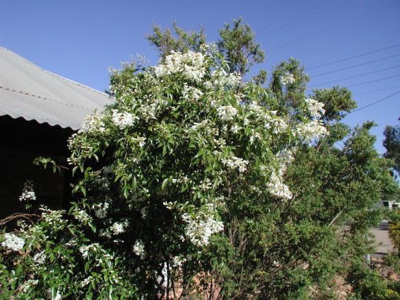 Wonga wonga vine, Pandorea pandorana growing in Western Australia