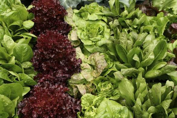 Colourful lettuce varieties can be grown in shade but they need ample water