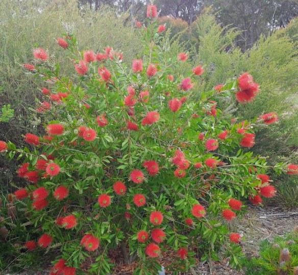 Callistemon 'Endeavour' - spectacular in peak flowering