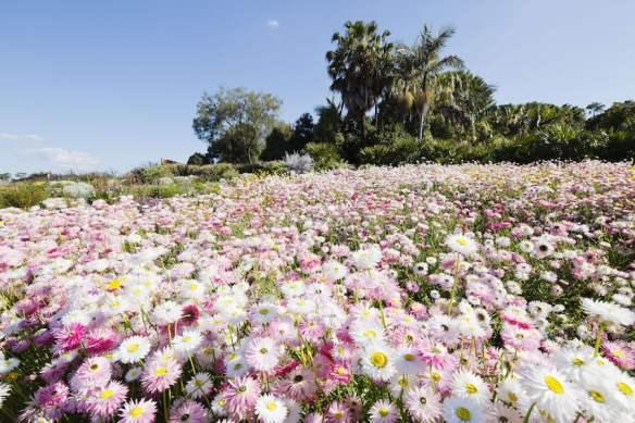 Paper daisies at The Australian Garden, Mount Annan NSW