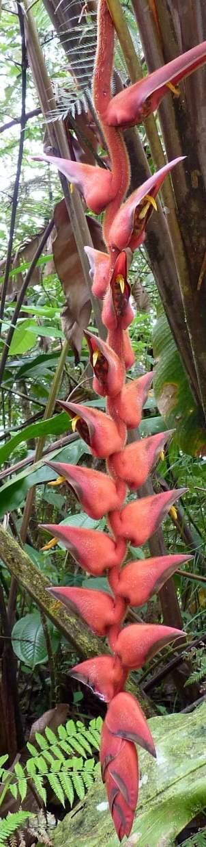 Heliconia species
