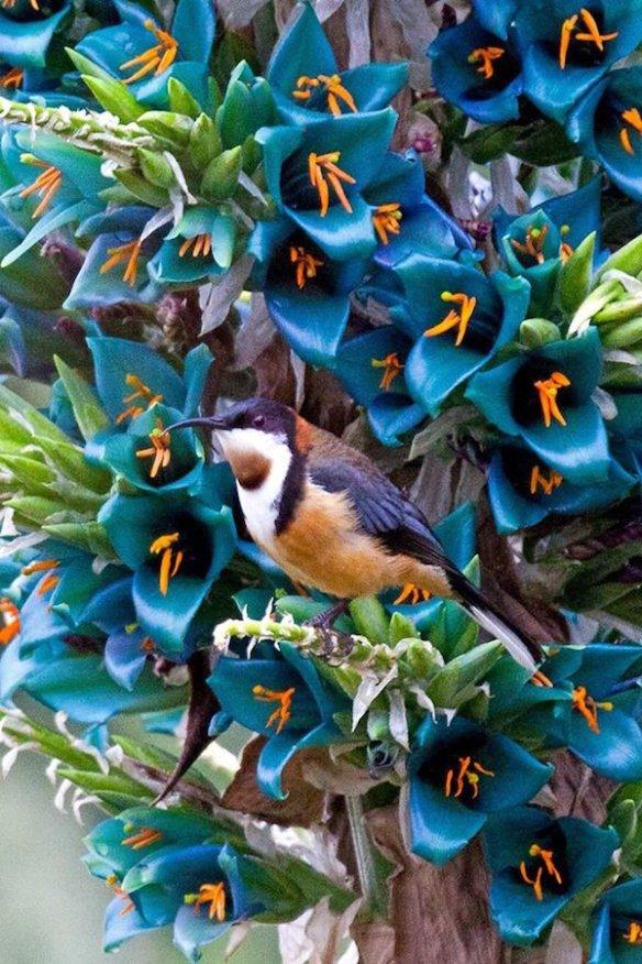 Puya flower with honeyeater Mt Tomah Botanic Gardens