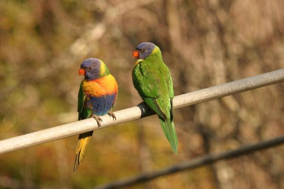 The Rainbow Lorikeet was the most common bird seen by Australians in the 2014 Aussie Backyard Bird Count. Photographers: Woj Dabrowka and Kevin Vang/Bird Explorers