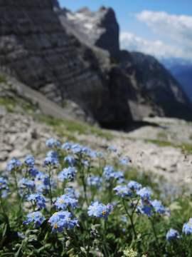 Myosotis alpina