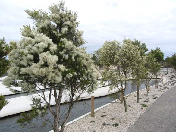 Melaleuca linariifolia at Melaleuca Spits in the Australian Garden Cranbourne Photo W. Worboys