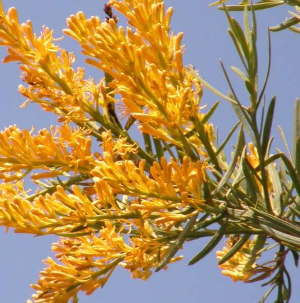 Nuytsia floribunda's rich golden flowers. Photo C. Firth