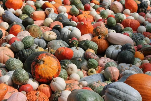 Pumpkins galore of so many different varieties