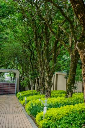 Tree-lined entrance with blocks of clipped golden duranta Design Leon Kluge