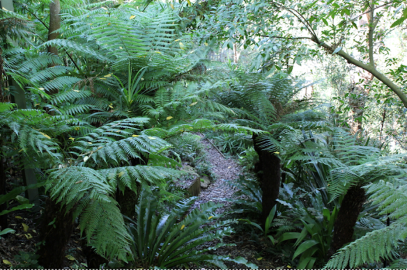 Mass plantings of Birds nest ferns, Cyathia cooperi C. australia, D. antactica, Blechnum sp., and Microsorum scandens (Frarant fern)have given the garden a variety of colours, textures and shapes.