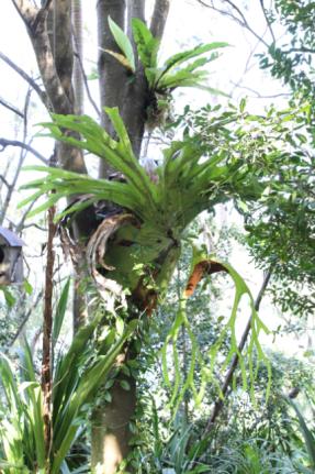 Asplenium nidus and Platycerium splendens