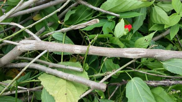 Hail damage in the garden - pitted bark on shrub stems