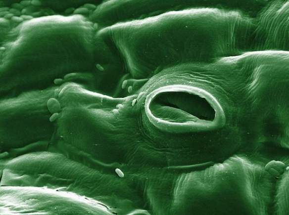 Open stomate on a tomato leaf through an electron microscope (colorized)