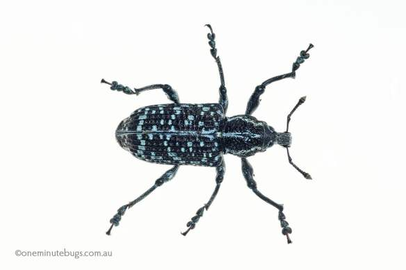 Botany Bay weevil (Chrysolopus spectabilis)