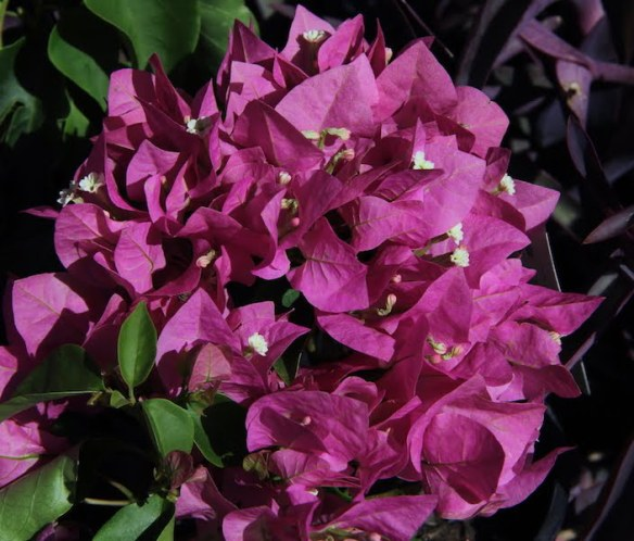 Bougainvillea Vera Light Purple