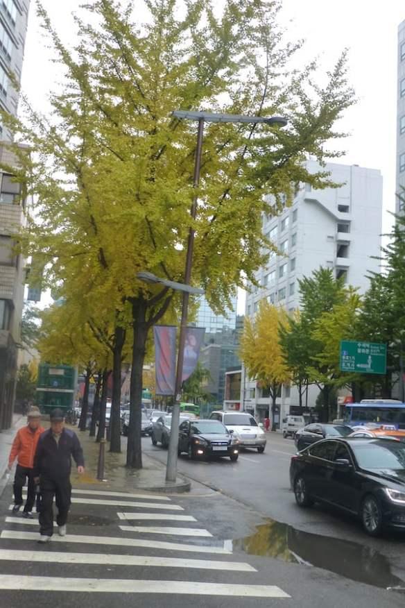 Ginkgo lined street