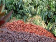Discarded coffee bean husks to be later used as compost