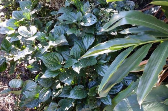 Betel leaf, Piper sermentosum