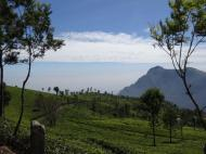 Tea estates at Coonoor have silky oak (Grevillea robusta) planted to lightly shade the tea camellia