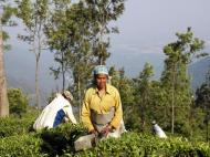 Womenpick the tea by hand using snippers with an attached box for catching the cuttings. Coonoor, Nilgiri Hills.