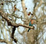 Indian Roller at Nagarhole National Park