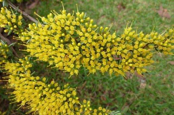 Homoranthus prolixus, with stunning yellow flowers and horizontal growth. Photos by Brian Roach