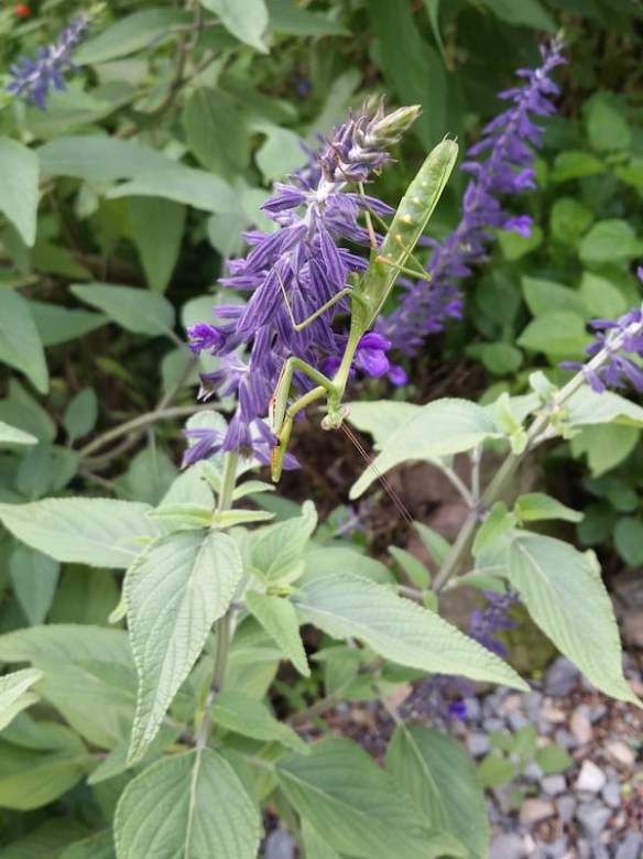 Praying mantis on Salvia 'Anthony Parker'