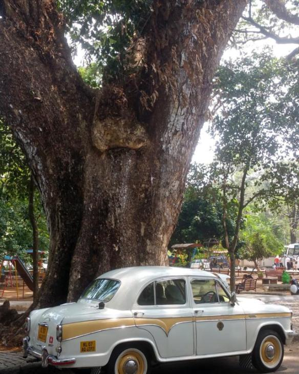 Rain tree with the hotel's retro taxi. You can see it has quite a sizeable trunk.
