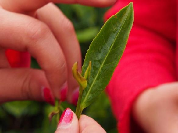 Showing the top buds picked for tea production near Baoshan Yunnan