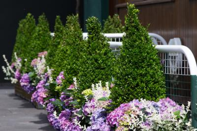 Buxus sempervirens topiary cones. The Championships 2016 at The All England Lawn Tennis Club, Wimbledon. Day -3 Friday 40/06/2016. AELTC/Gary Hershorn