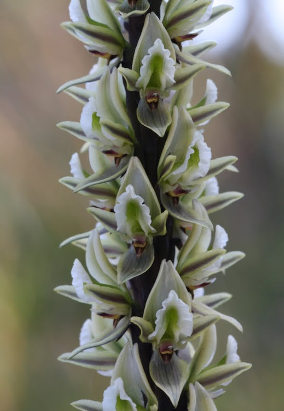 Prasophyllum elatum (Tall Leek Orchid), the flowers of which from a distance resemble those of the grass trees (Xanthorrhoea)
