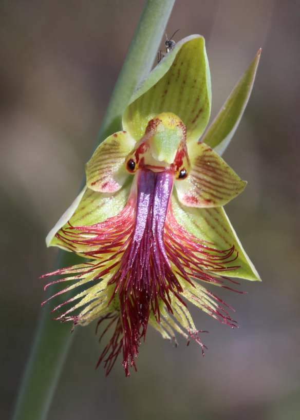 Calochilus campestris (Copper Beard Orchid) showing the labellum with the 'landing pad' of colourful hairs