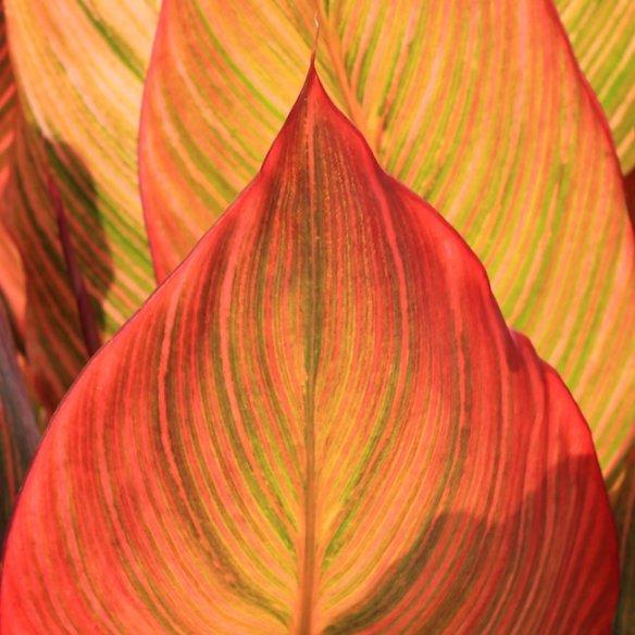 Anthony Tesselaar Plants Canna Tropicanna
