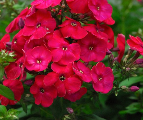 Anthony Tesselaar Plants Phlox Volcano Red