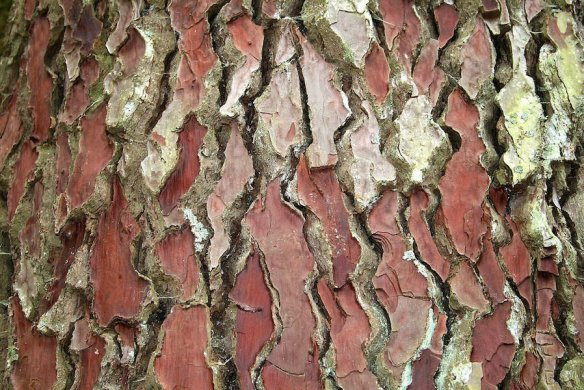 Bark of Pinus pinaster. Photo Jean-Pol GRANDMONT