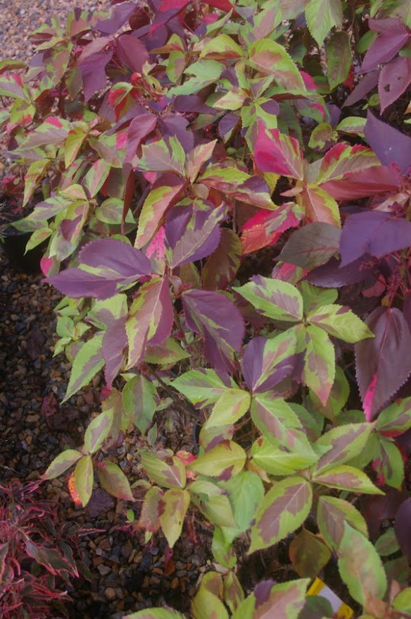 Acalypha 'Camouflage' has bold patches of colour