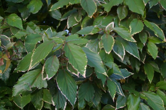 Green shades dominate when Acalypha 'Marginata' is grown in the shade