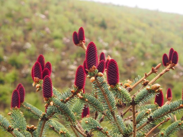 Blood-red cones on Picea likiangensis
