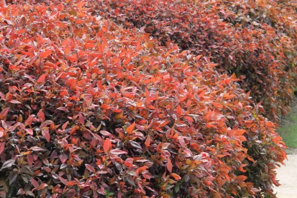 Sold as Acalypha 'Inferno, the small leafed Acalypha 'Brownie' makes a great hedge