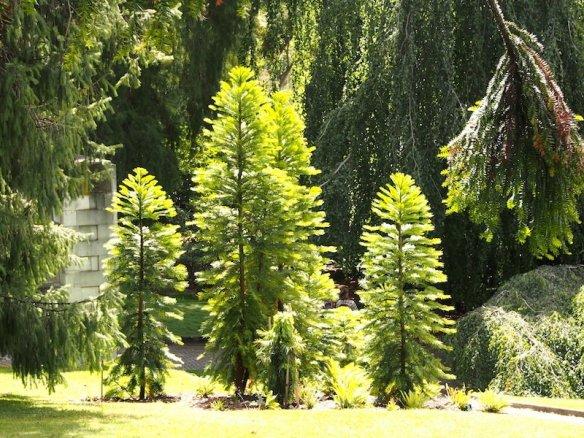 Wollemia nobilis in Hobart Botanic Garden