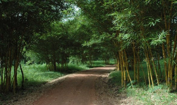 Bamboo grove in Pha Tad Ke Botanical Garden, Laos. Photo Peter Morrell