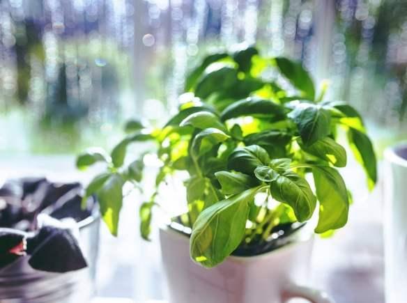 Grow basil in a pot near the window