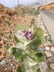 Giant milkweed Calotropis procera