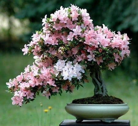 diccionario-jardineria-gardeneas-calcífuga