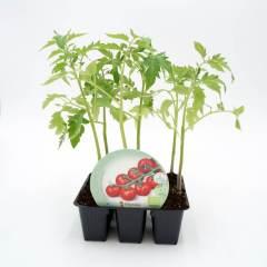 plantel-tomate-cherry