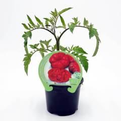 plantel-tomate-montserrat