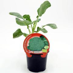 plantel-brócoli-verde