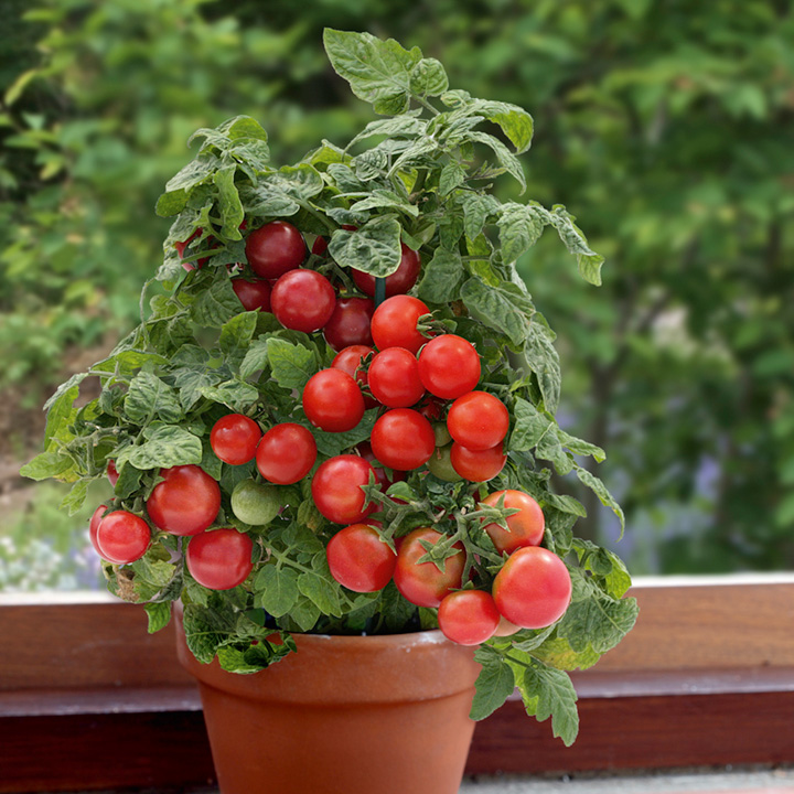 Tomato Plants F1 Sweet N Neat Red Dobies