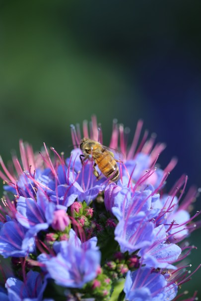 Echium candicans is one of the best bee attracting plants around!