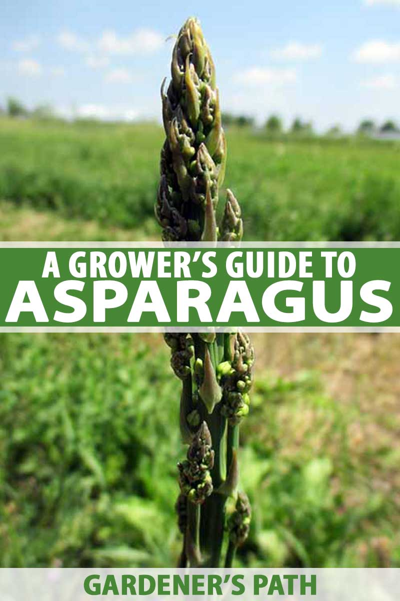 Great Tips A Grower S Guide To Asparagus Gardener S Path