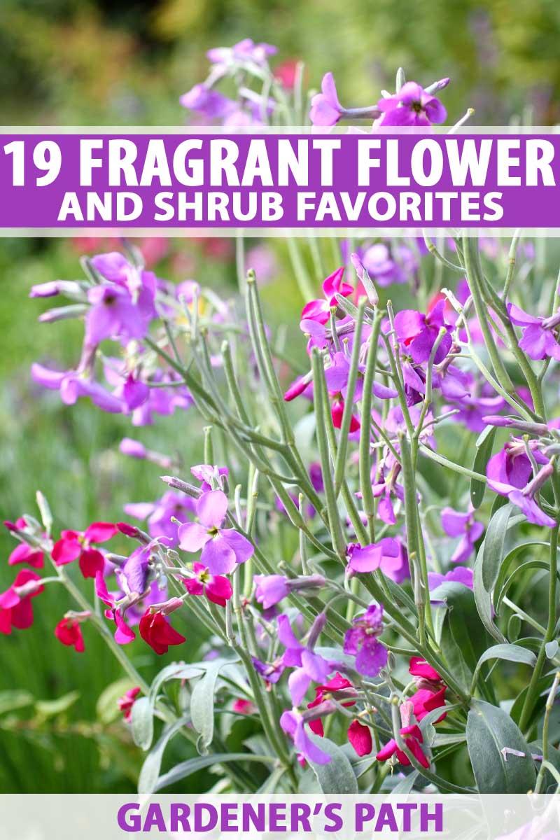 19 Fragrant Flower And Shrub Favorites Gardener S Path